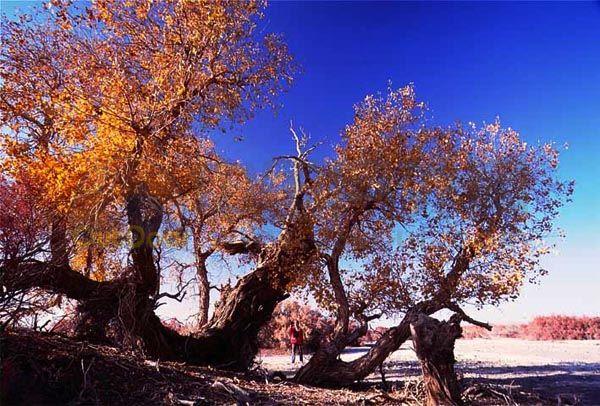 6,罗布泊文明的古胡杨林    位于太阳墓地西侧,在古河道北岸的一
